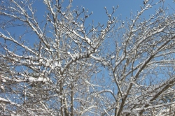 Blue sky, snow covered tree