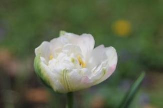 Brian's tulip