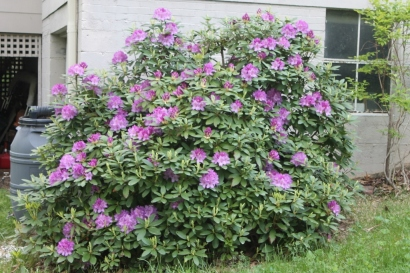 The large, glorious rhododendron bush.