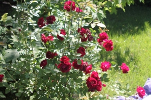 My glorious rose bush