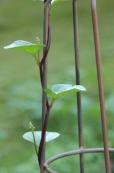 Returning Malabar Spinach