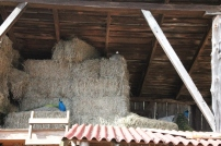 Peacoks in the hay loft