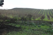 Blackened fire damage and fresh green growth, with vineyards just beyond